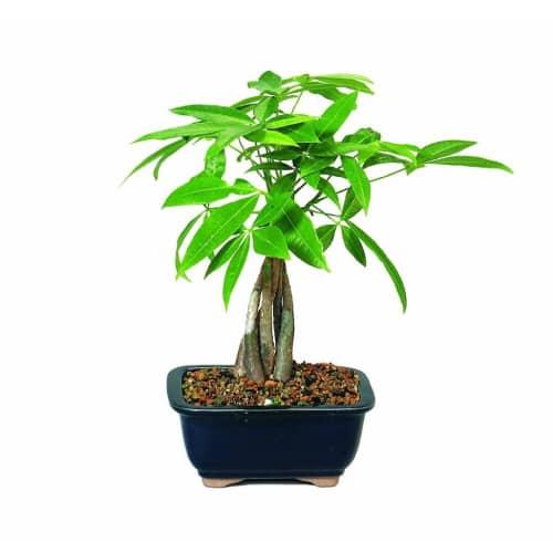 Money Tree Bonsai Plant