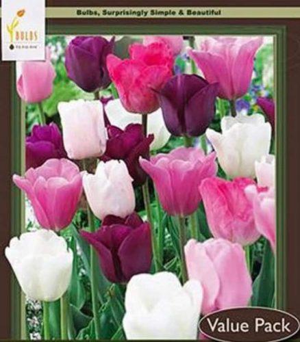 50 Tulip Bulbs