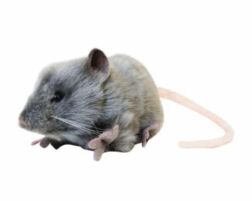 april fools day evil prank ideas. gray fat rat