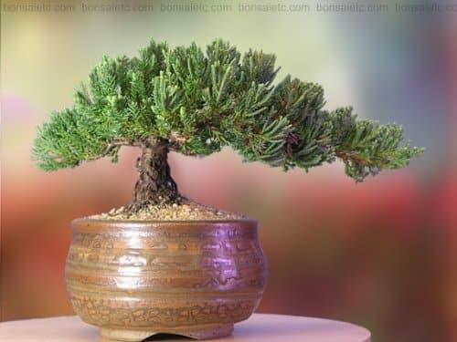 Bonsai Juniper Plant