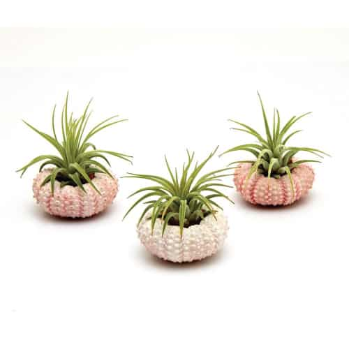 Air Plants in Pink Sea Urchins Trio Pack