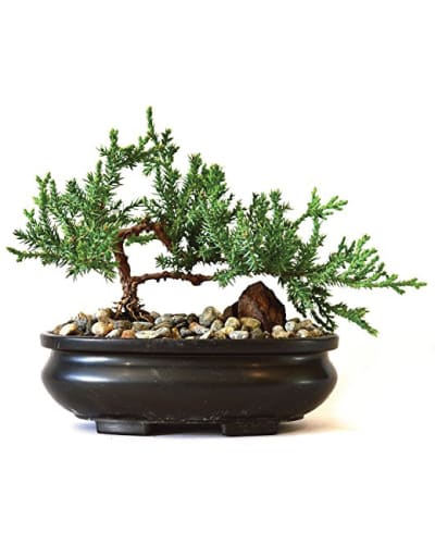 Juniper Tree Bonsai Plant | Receptionist appreciation day gift ideas | gift from boss for staff