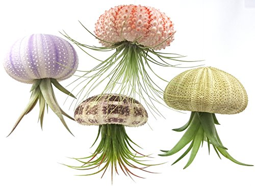 Sea Urchin Jellyfish Airplant