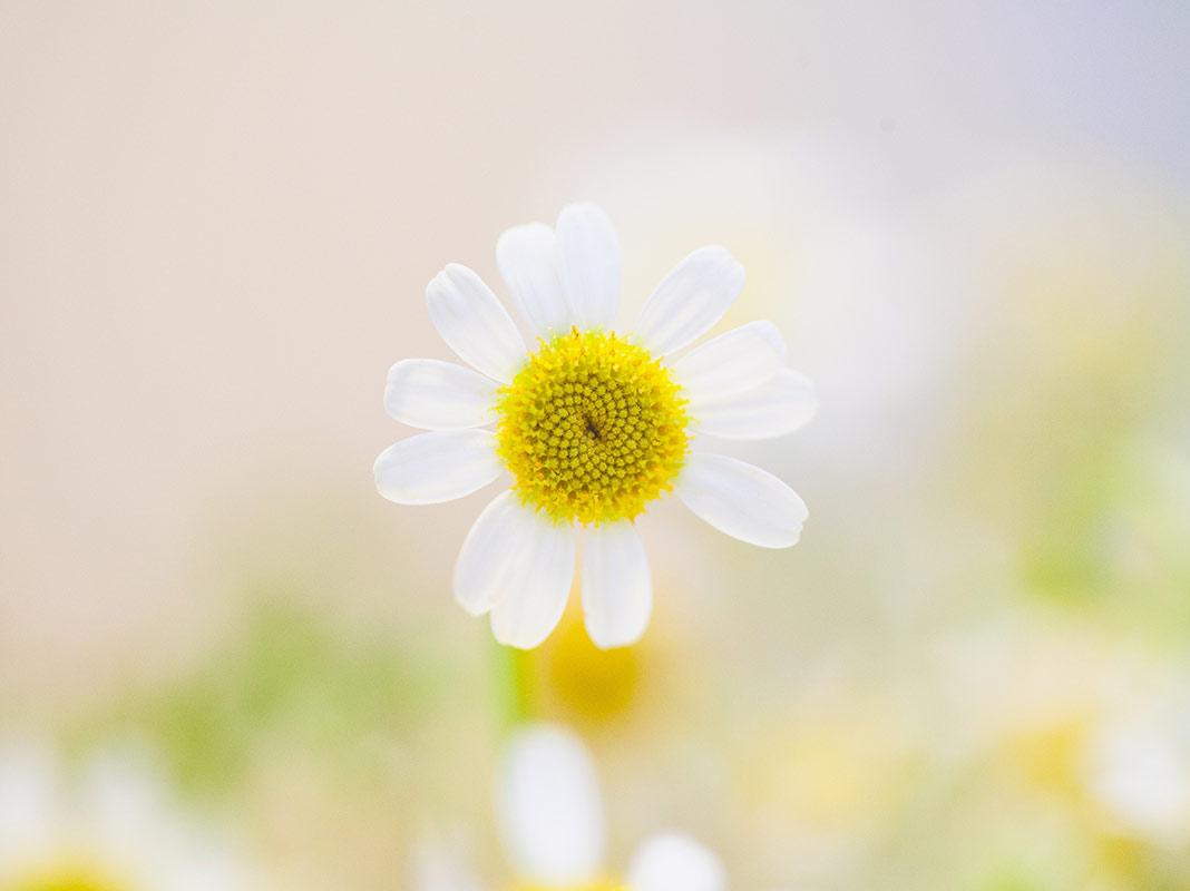 daisy springtime date