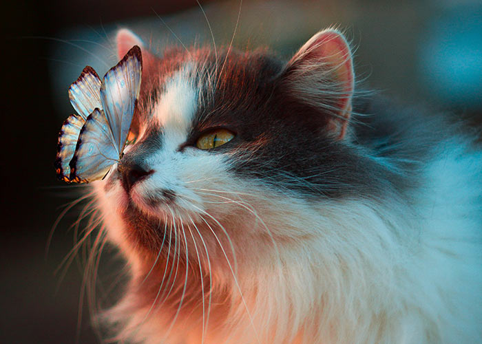 long hair cat and butterfly on nose - fact about isaac newton and his cat
