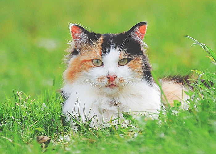calico cat amidst grass field - cat ear fact