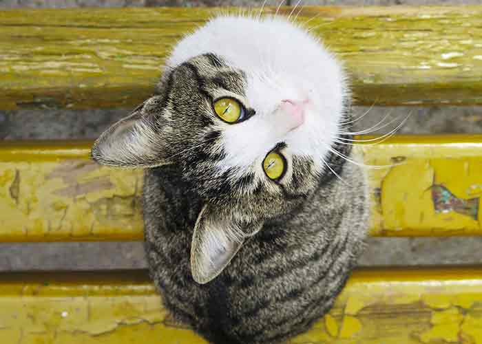 tabby white cat looking up - facts about chocolate and cats