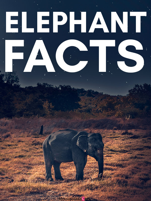 Here are some facts about the elephant as a species that will make you feel even more fascinated about the gentle giant