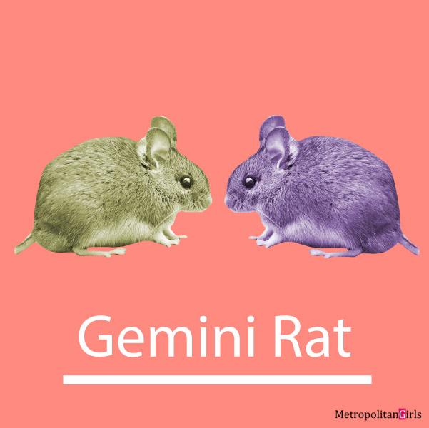 gemini-rat-personality-love-career-featured-image.