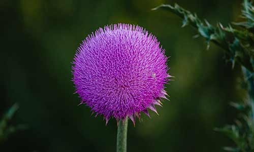 thistle is a birth flower of aries