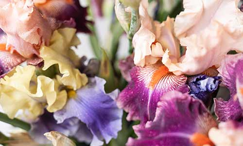 iris birth flower for month of february