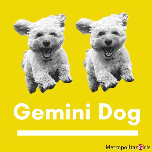gemini dog