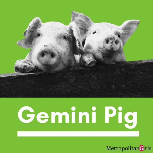 gemini pig
