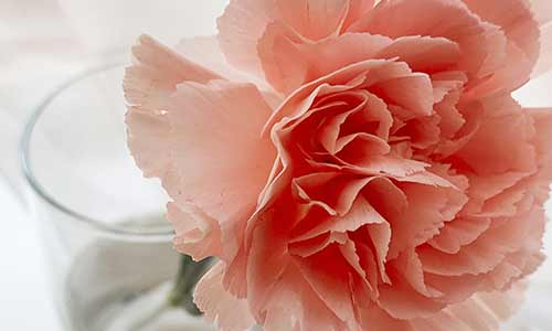 carnation is a January birth flower