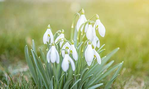 snowdrop is a January birth flower