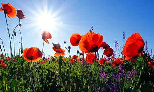 august flower poppy