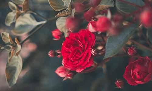 june babies birth flower rose