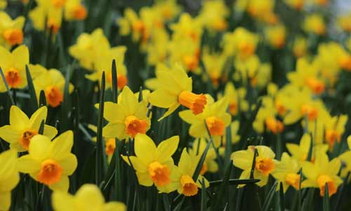 jonquil is a birth flower for march