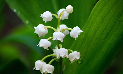 birth flower, may flower lily of the valley
