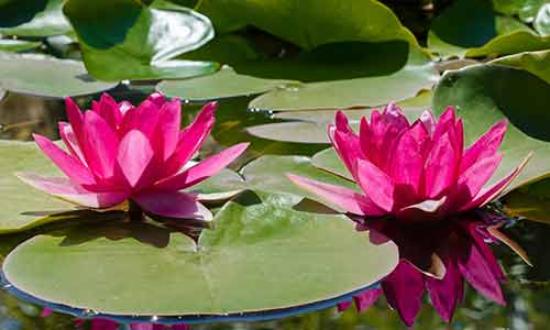 pisces birth flower water lily