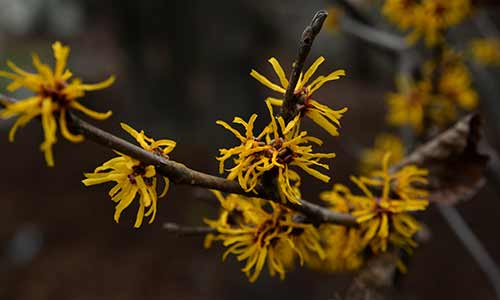 witch hazel pisces flower