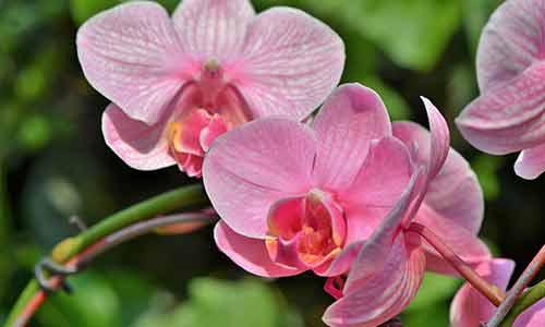 orchid aquarius flower