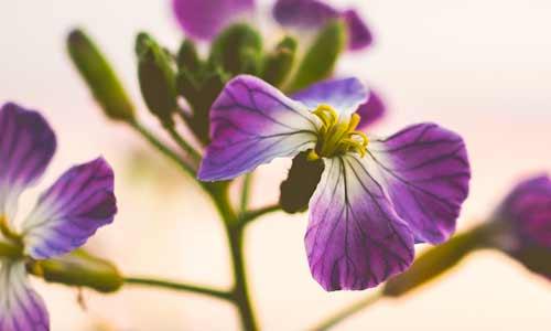 violet birth flower for aquarius