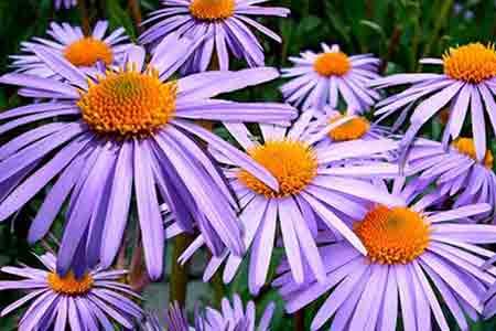 aster lucky flower capricorn
