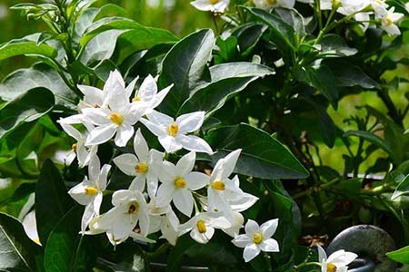 jasmine birthday flower - capricorn
