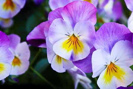Pansy - birth flowers of Capricorn
