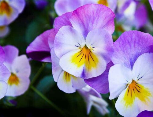 Capricorn Flowers