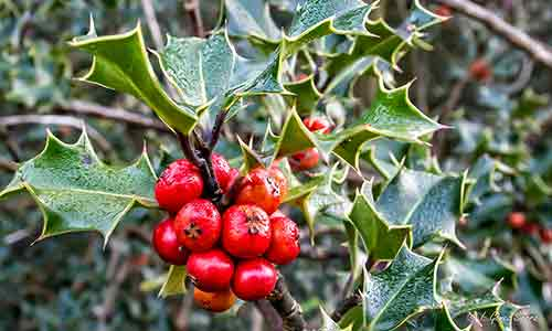 holly flower of december