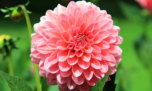 dahli birth flower of leo zodiac sign