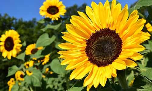 sunflower leo birth flower