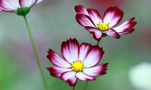 cosmos zodiac flower for libra