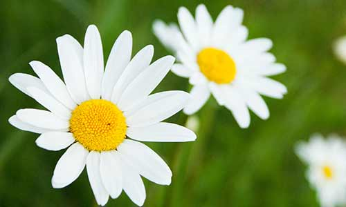 daisy flower of libra
