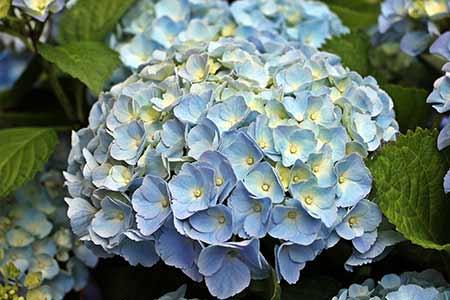 hydrangea lucky libra flower