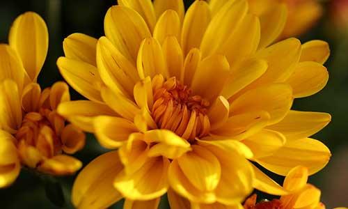 Chrysanthemum - birth flower for sagittarius
