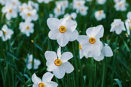 Narcissus birth flower of Sagittarius