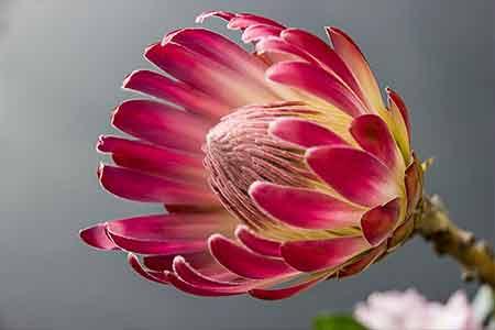 protea sagittarius birthday flower