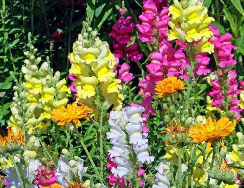Sagittarius Flowers - Snapdragon