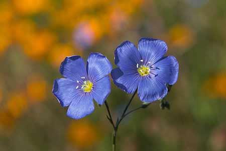 geranium - flower of scorpio
