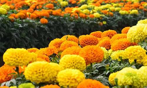 scorpio birth flower marigold