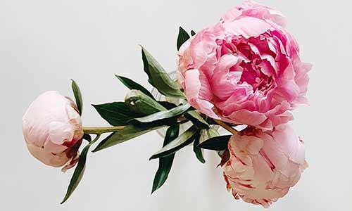 rose: scorpio's flower