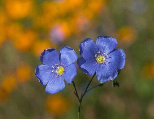 scorpio flower - geranium