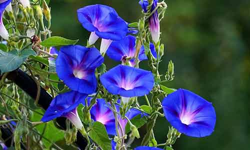 birth flower September morning glory