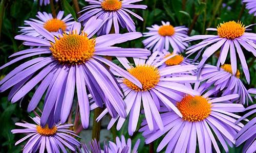 aster flower september