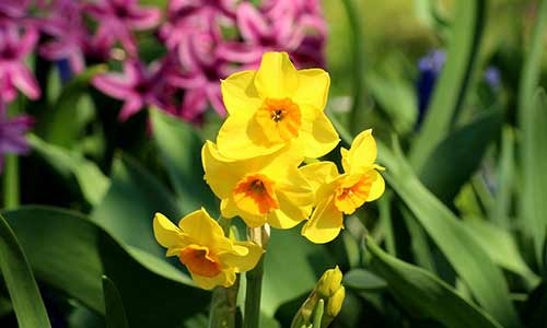 Narcissus daffodil birth flower for november babies