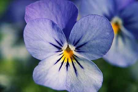 flower for cancer blue viola