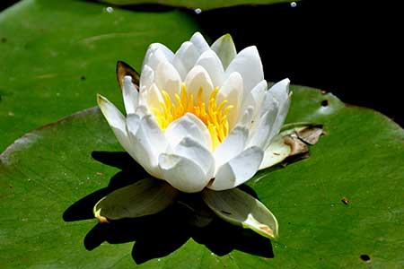 birth flower for cancer - water lily